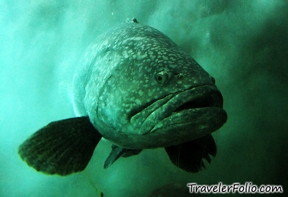 giant-grouper