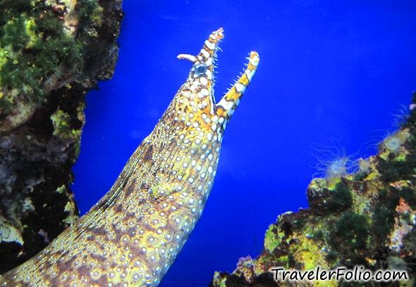 moray-eel
