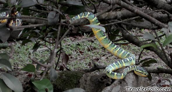poisonous-temple-snake