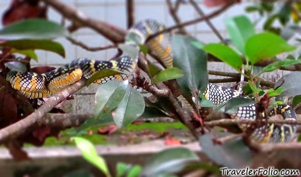 venomous-pit-viper