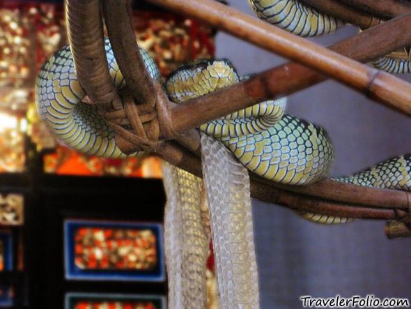 wagler-pit-viper