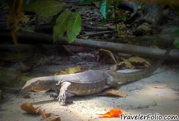 pulau-sapi-monitor-lizard