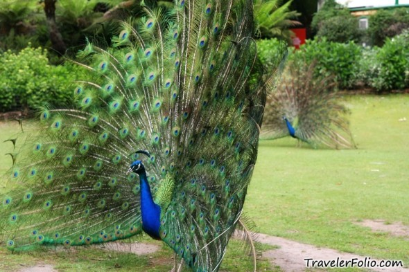 http://travelerfolio.com/tf2/photos/2010/01/peacock-parade-590x393.jpg