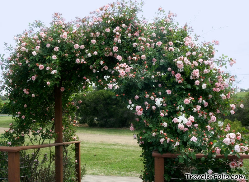 rose flower garden wallpaper. Rose garden at Sorell Fruit