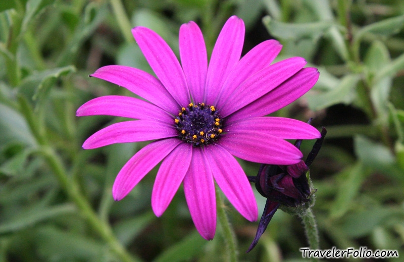 daisy flower photos  picture gallery  singapore travel, Beautiful flower