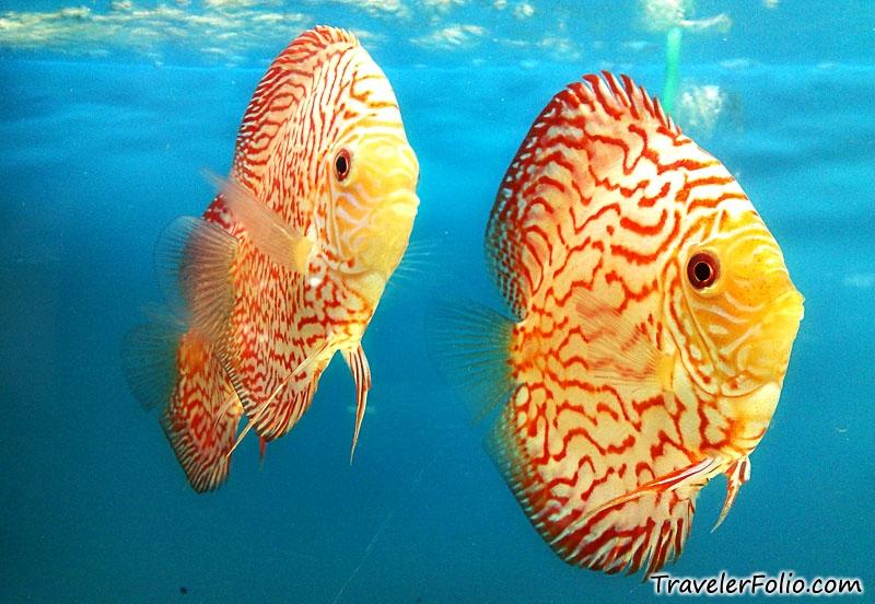 Discus fish species for Discus fish types
