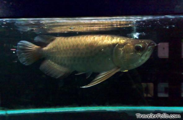 Qian hu fish farm aquarium singapore travel singapore for Freshwater dragon fish