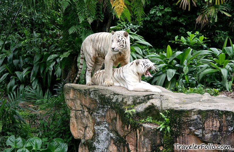 singapore zoo white tigers ah meng sg tourism
