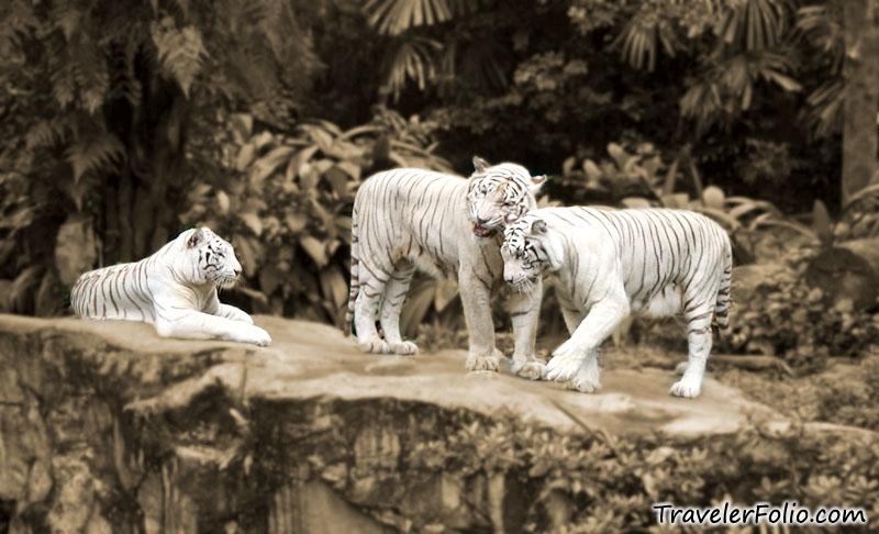 singapore zoo white tigers ah meng sg tourism